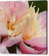 White And Pink Peony Canvas Print