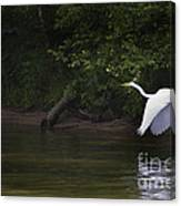 White Egret In Flight Canvas Print