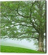 White Oak Tree In Fog Canvas Print