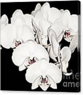 White Orchids On Black Canvas Print