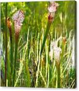 White-topped Pitcher Plant Canvas Print