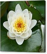 White Waterlily  Canvas Print