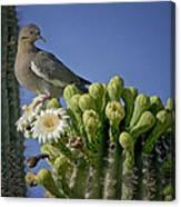 White-winged Dove Atop A Saguaro Canvas Print