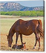 Wild Horses Mother And Foal Canvas Print
