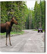 Wild Moose Canvas Print