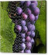 Wine In A Web Canvas Print
