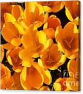 Yellow Crocus Flowers In Sunlight Canvas Print