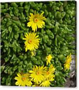 Yellow Ice Plant In Bloom Canvas Print