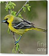 Young Orchard Oriole Canvas Print