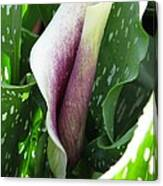 Zantedeschia Named Picasso Canvas Print