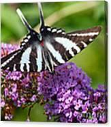 Zebra Swallowtail Butterfly At Butterfly Bush Canvas Print