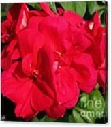 Zonal Geranium Named Candy Cherry Canvas Print