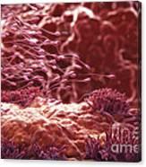 Human Sperm Canvas Print