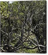 201407250-089 Capulin-bare-trees Canvas Print