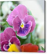 Viola Tricolor Heartsease Canvas Print