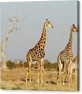 Africa, Botswana, Chobe National Park Canvas Print