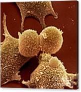 Human Fibroblast Cells Canvas Print