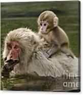 Snow Monkeys, Japan Canvas Print