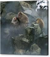 Macaque Du Japon Macaca Fuscata Canvas Print