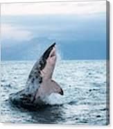 Grand Requin Blanc Carcharodon Canvas Print