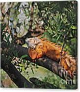 25- Iguanas Canvas Print