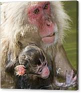 Snow Monkeys, Japan Canvas Print