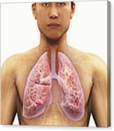 The Respiratory System Canvas Print