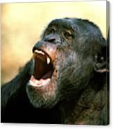 Chimpanze Pan Troglodytes Canvas Print