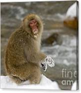Japanese Macaque Canvas Print