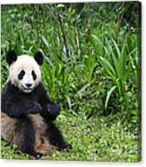 Giant Panda Canvas Print