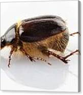 Cockchafer Or June Beetle  Canvas Print