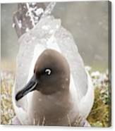 A Light Mantled Albatross Canvas Print