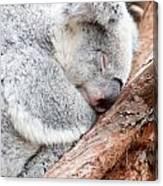 Adorable Koala Bear Taking A Nap Sleeping On A Tree Canvas Print