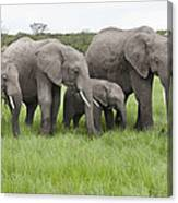 African Elephants Grazing  Kenya Canvas Print