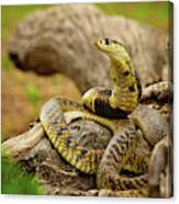 African Snakes Canvas Print
