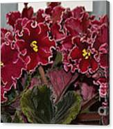 African Violets  Canvas Print