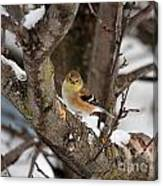 American Goldfinch In Winter Canvas Print
