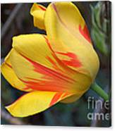 Tulip In The Wind Canvas Print