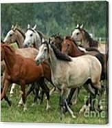Arabian Horses Canvas Print