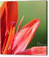 Asiatic Lily Named Red Twin Canvas Print