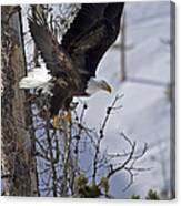 Bald Eagle   #8309 Canvas Print