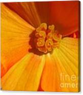 Begonia Named Nonstop Apricot Canvas Print