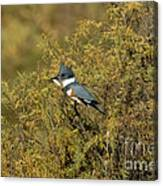 Belted Kingfisher With Fish Canvas Print