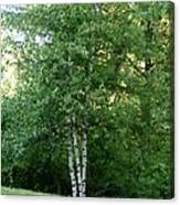3 Birch Trees On A Hill Canvas Print