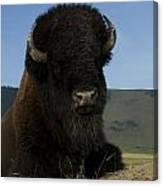 Bison  Bison Bison Canvas Print