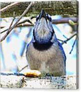 Blue Jay With Bread  Canvas Print
