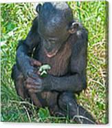 Bonobo Baby Canvas Print