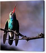 Broad Bill Hummingbird Canvas Print