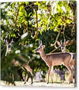 3 Bucks Caught In A Orchard Canvas Print
