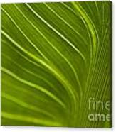 Calla Lily Stem Close Up Canvas Print